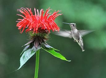 Hummingbird and Bee Balm
